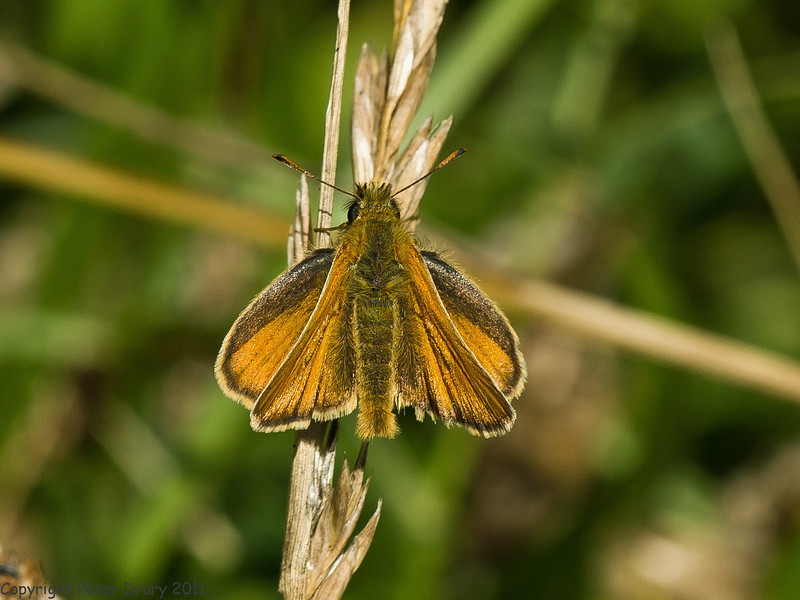 01 July 2011. Small Skipper at the Chalk Quarry. Copyright Peter Drury 2011