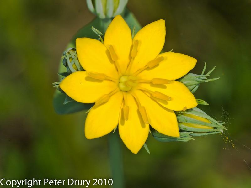 Yellow wort (Blackstonia perfoliata). Copyright Peter Drury 2010