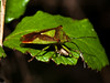 Hawthorn Shield Bug (Acanthosoma haemorrhoidale). Copyright 2009 Peter Drury<br /> Seen here in the company of Common Froghopper (Philaenus spumarius).