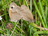18 Sep 2010 - Meadow Brown (Maniola jurtina), Portsdown Hill. Copyright Peter Drury 2010<br /> With very few butterflies around, these two were still desperately trying to keep the process going/