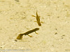 15 March 2011. Smooth Newts in the pool at the bottom of the Chalk Quarry.  Copyright Peter Drury 2011