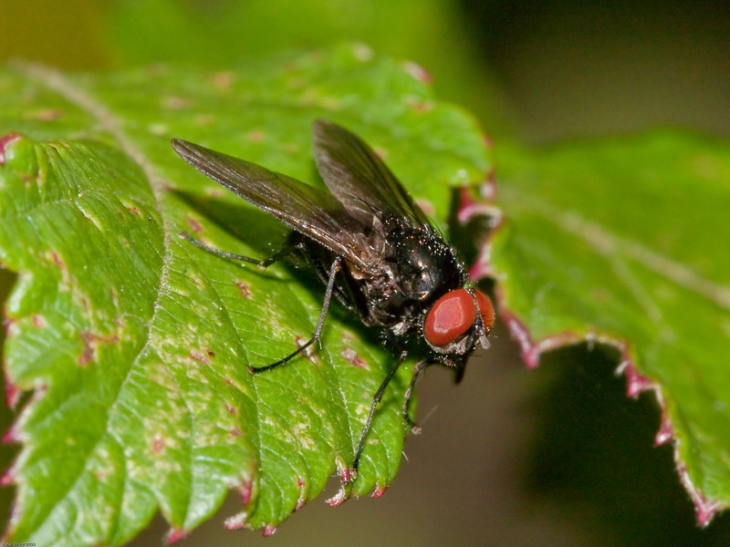 Fly for ID. Copyright 2009 Peter Drury