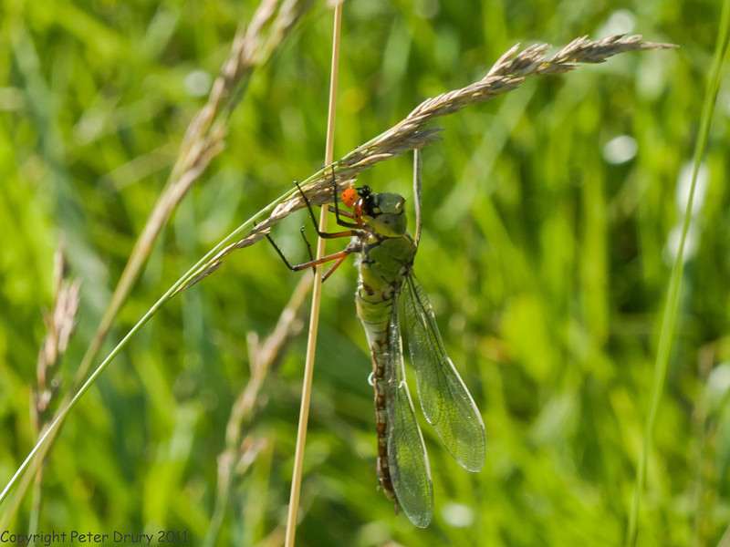01 July 2011. Female Emperor Dragonfly at the Chalk Quarry. Copyright Peter Drury 2011
