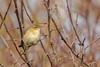 Chiffchaff (Pyslloscopus collybita)