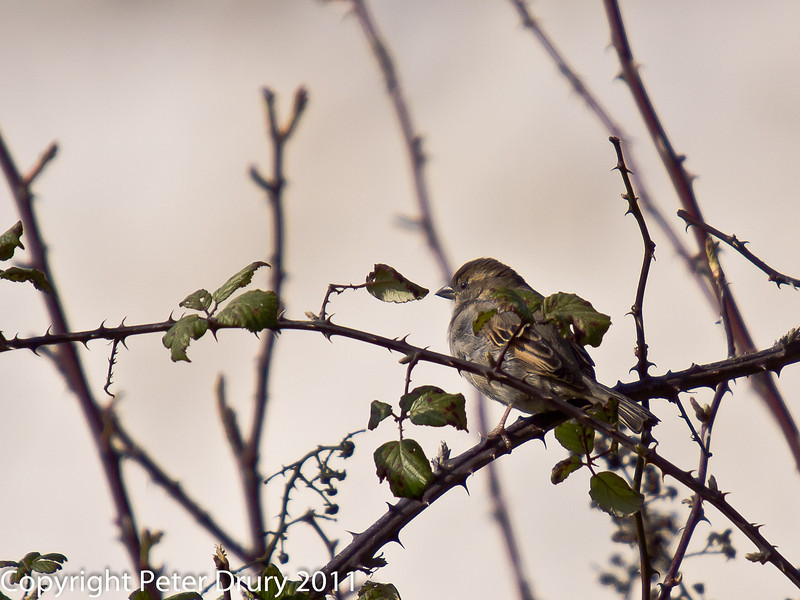 08 March 2011. Sparrow for ID. Copyright Peter Drury 2011