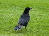 27 Mar 2007 - Carrion Crow at Portchester Common. Copyright Peter Drury 2007