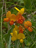 Birds Foot Trefoil (Lotus corniculatus). Copyright Peter Drury 2010