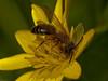 Andrenas sp - male. Copyright Peter Drury 2010