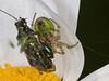 05 Jun 2010 Araniella cucurbitina. Seen at the Chalk Quarry, Paulsgrove, Portsdown Hill with an unfortunate Thick-kneed Flower Beetle (Oedemera nobilis) as prey. Copyright Peter Drury 2010