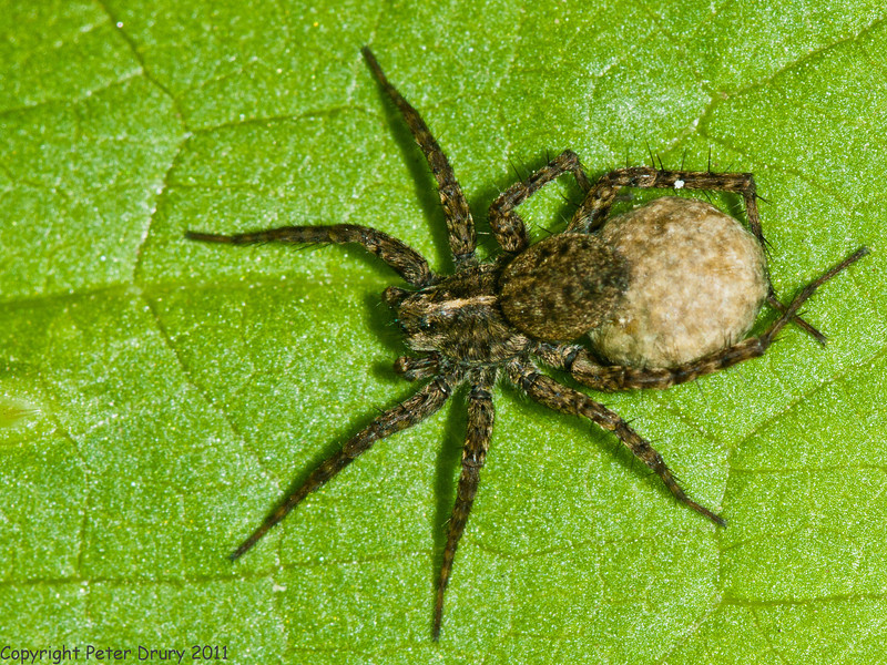 21 May 2011. Spotted Wolf Spider at the the Oysterbeds. Copyright Peter Drury 2011