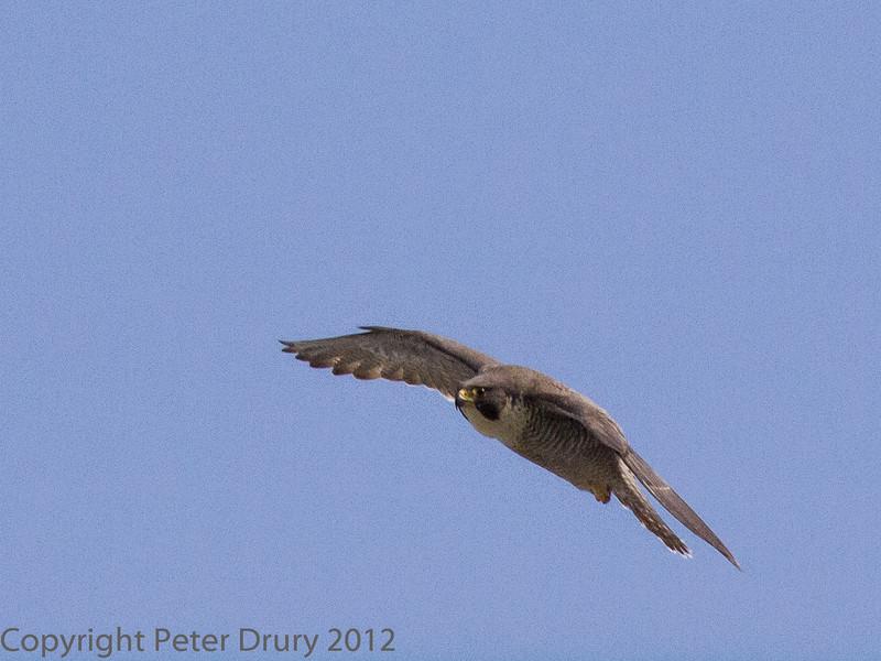 28 May 2012 Peregrine in flight