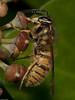Common Wasp (Vespula vulgaris). Copyright 2009 Peter Drury