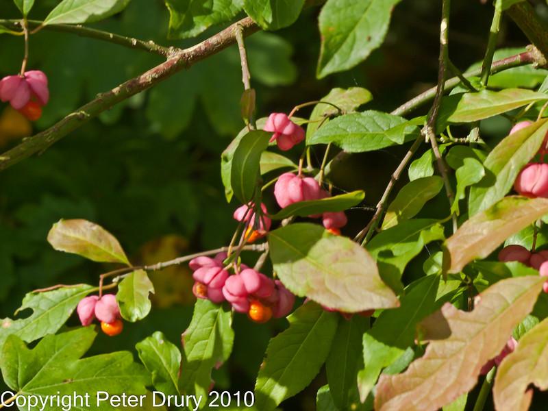 07 Oct 2010 - European Spindle (Euonymus europaeus). Copyright Peter Drury 2010