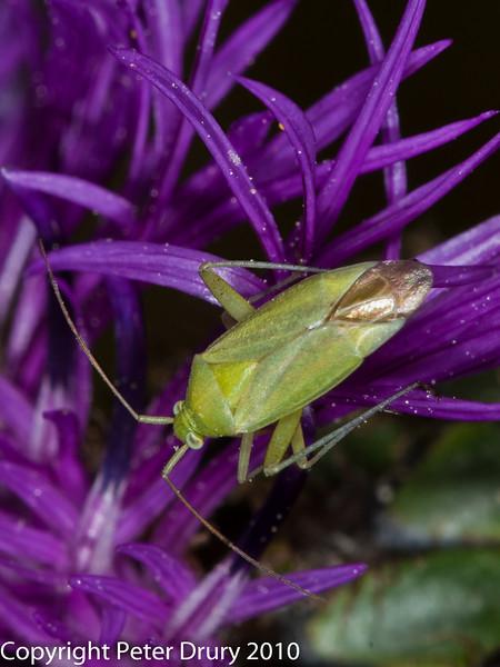 Common green capsid (Lygocoris pabulinus). Copyright Peter Drury 2010