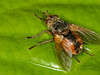 19 May 2010. Tachina fera. Copyright Peter Drury 2010