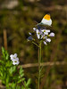 10 April 2011. Orange tip at Queen Elizabeth Country Park.  Copyright Peter Drury 2011