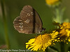 31 July 2010 - Ringlet. Copyright Peter Drury 2010