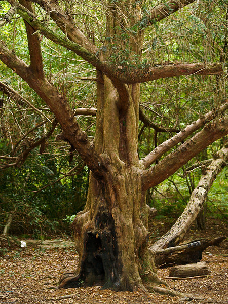 Very old tree that has withstood the ravages of time and vandals. Queens enclosre Cowplain. Copyright 2009 Peter Drury