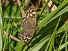 Speckled Wood (Pararge aegeria). Copyright Peter Drury 2010