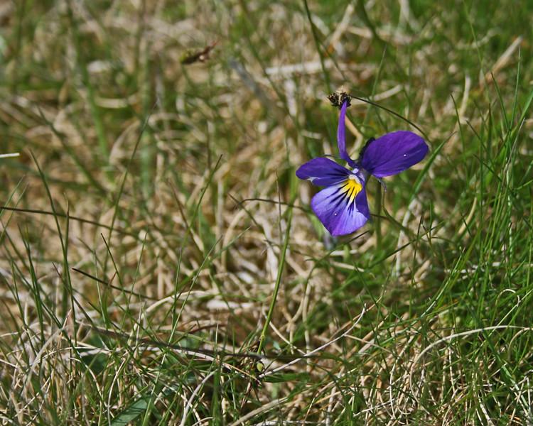 Blue Gentian flower