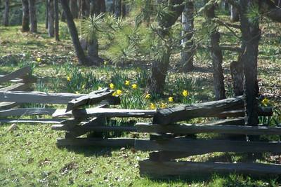 Daffodil Hill (57473221)
