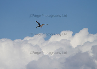 Pelican Flying Home