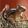 Chipmunk - Bryce Canyon National Park