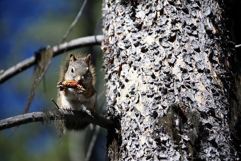 Squirrel Eating - Grand Teton National Park