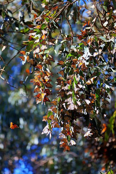 Monarch Clusters - Ellwood Main Monarch Butterfly Grove - Goleta, CA
