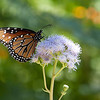 Queen Butterfly - Arizona-Sonora Desert Museum - Tucson, AZ
