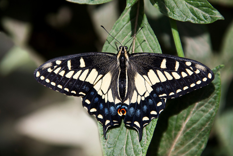 Black Swallowtail - Natural History Museum - Los Angeles