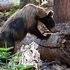 Black Bear Hunting For Grubs - Sequoia National Park