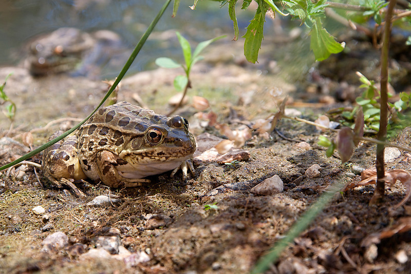Frog - Arizona-Sonora Desert Museum - Tucson, AZ