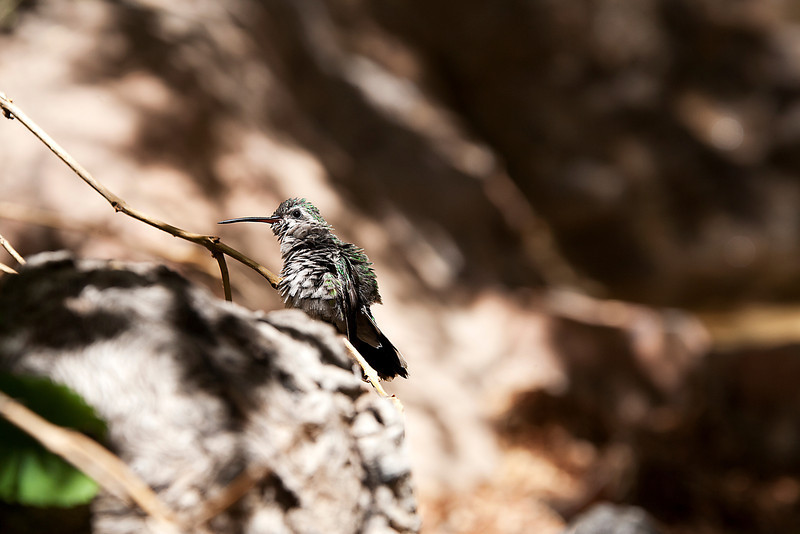 Hard Day - Hummingbird - Arizona-Sonora Desert Museum - Tucson, AZ