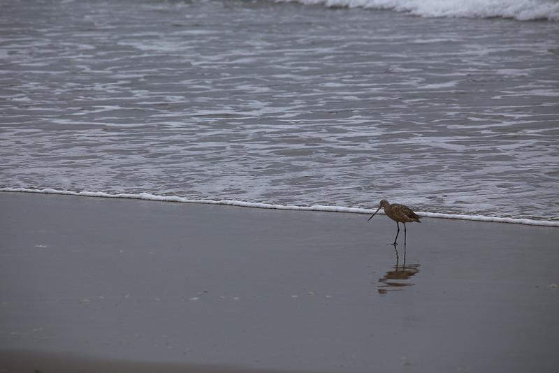 Sandpiper On A Foggy Morning - Ventura Beach