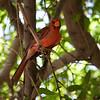 Desert Cardinal Male - Arizona-Sonora Desert Museum - Tucson, AZ