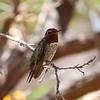 Anna's Hummingbird Male - Arizona-Sonora Desert Museum - Tucson, AZ