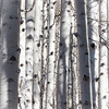 B&W Aspens on Kebler