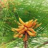 Pine Tree in Spring
