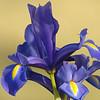 Cypress Garden Iris