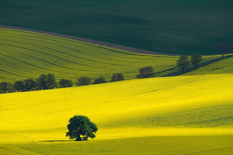 A lone tree standing in a rape field.