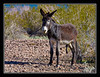 Wild male burro along Colorado River