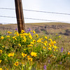 79  G Lupine and Balsamroot Fence Post V