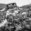 43  G Lupine and Balsamroot Abandoned Car BW