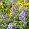 5  G Lupine and Balsamroot Fence