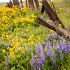 81  G Lupine and Balsamroot Fence Posts V