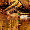Cheoah Lake Mallard Ducks