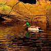 Cheoah Lake Mallard Duck