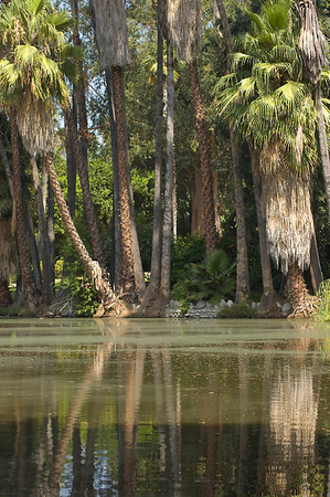 Lagoon at the LA Arboretum (Lucky Baldwin Ranch)