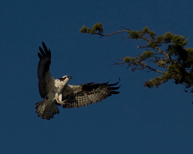 I took this picture of an Osprey at Morro Bay in December 2008 with an inexpensive lens.  Initially not too impressed, it sat in limbo until August when I was looking for photos for the California Coastal Commission photo contest.  After a little cropping I realized I had a keeper.  This osprey it returning to a nest in this tree (out of the picture).  She had been waiting for the right moment to bring back breakfast.  As you can see, she came back empty talloned.